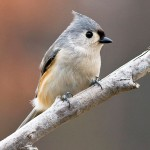 Tufted titmouse/Judy Howle