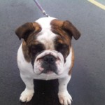 This bulldog named Sampson was taken from his home without permission.