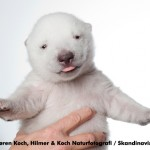 Cute animal video: Siku, the baby polar bear (video and picture)