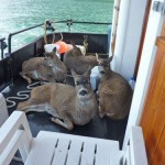 Photos of these deer hitching a ride on an Alaskan fishing boat are making the rounds on Facebook.