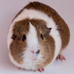 Wally is a Brown Agouti/White/American Shorthair guinea pig looking for a home. You can learn more at the Metropolitan Guinea Pig Rescue in Washington, DC.