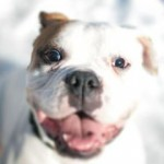 Dozer is a  2 year old purebred American Bulldog who has been looking for his forever home for a while. He's currently at Lollypop Farm in Victor, NY. Click his photo to get more information!