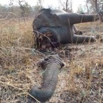 Poachers have slaughtered hundreds of elephants for their ivory tusks in the Bouba Ndjida National Park, Cameroon. © Boubandjida Safari Lodge (IFAW press photo)