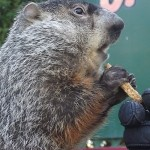 Visit Punxsutawney Phil, the prognosticating groundhog, on Facebook