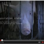 Do you know where your bacon come from? Click the image to watch the video from the Humane Society of the United State's undercover investigation at two of the nation's largest pork suppliers