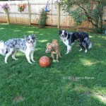 Bandit, Bailey and Scout, summer 2011. A year later, two dogs are still here, and they can't be left alone together in the same room.