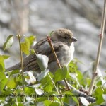 Celebrate birdsong on International Dawn Chorus Day, May 6, 2012