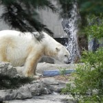 Zero the polar bear. His mate Aurora prefers solitude. Let's hope it's because she's expecting!