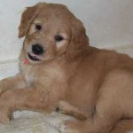 Seven-week old Goldendoodle puppy. (Photo courtesy of Wikipedia, user Gandydancer