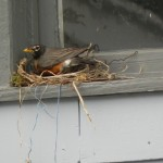 Mrs. Robin is back this morning for another attempt at our garage window.