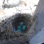 Mrs Robin adds to her nest – three more eggs!