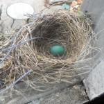 Mrs. Robin laid her egg!
