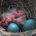 Mrs. Robin's babies!