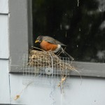 Mrs. Robin checks her nest to make sure all of her babies are there.