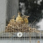 Three robin babies, getting ready to leave the nest.