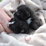 Day old kittens, being cared for by Kitten Korner Rescue.