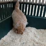 Update on Lucy, the chicken with vertigo