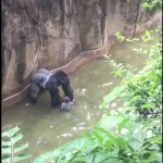 A gorilla, a boy, and life in the balance