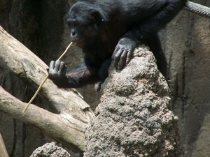 A_Bonobo_at_the_San_Diego_Zoo__fishing__for_termites