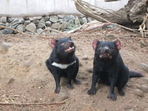 640px-Tasmanian_Devil_markings