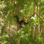 spider monkeys in Honduras