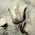 Acrocanthosaurus track, Dinosaur Valley State Park, Glen Rose, Texas