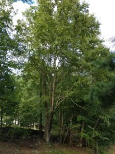 ECG 2012 tall trees