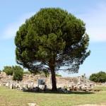 tree and ruins - Ephesus 2012