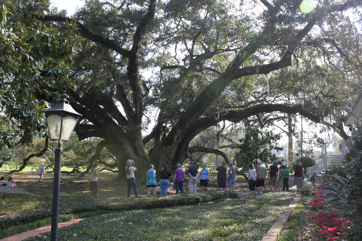 Seven Sisters Oak