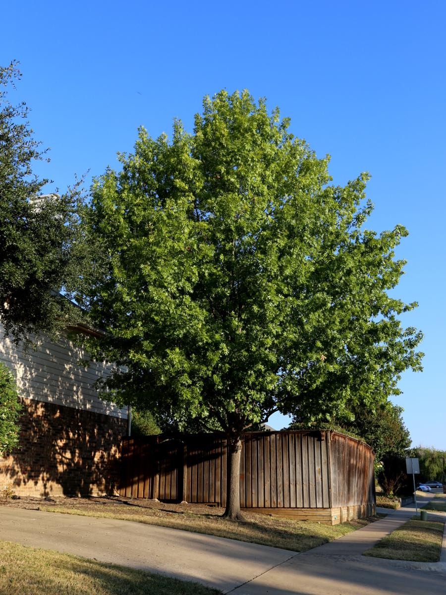 oak tree 10.11.15 02