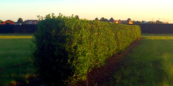 hedge 08.02.16 02 600x300