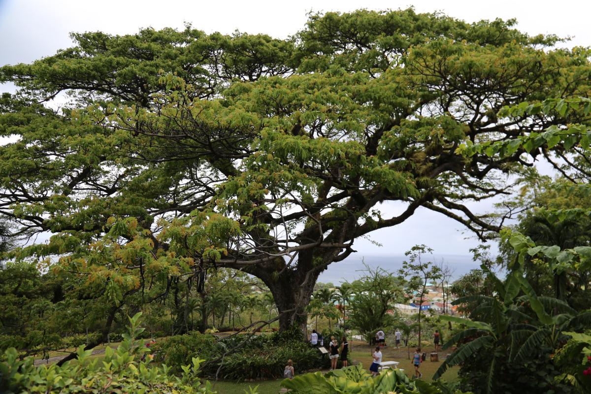 """The Tree"" - Caribelle Manor - St. Kitts. 400 years old."