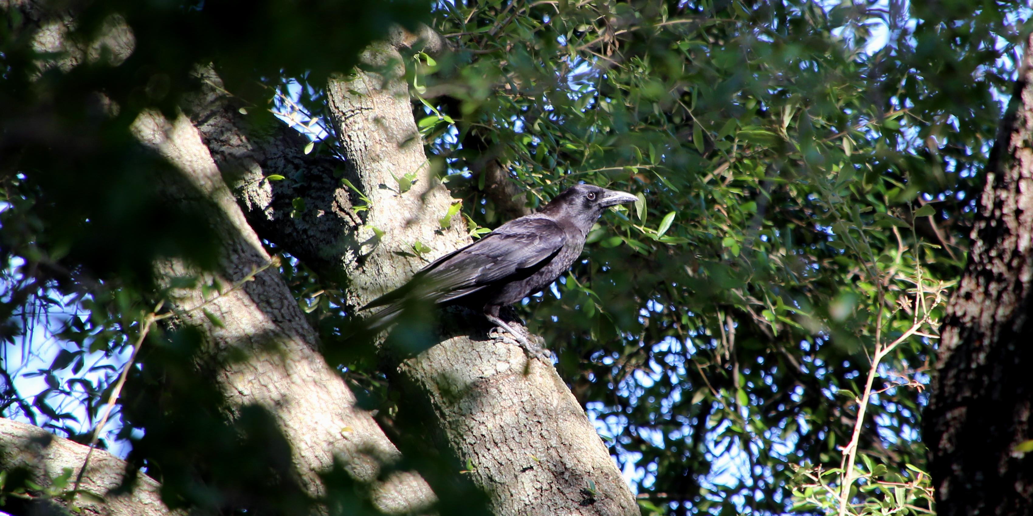 crow 04.27.17 01