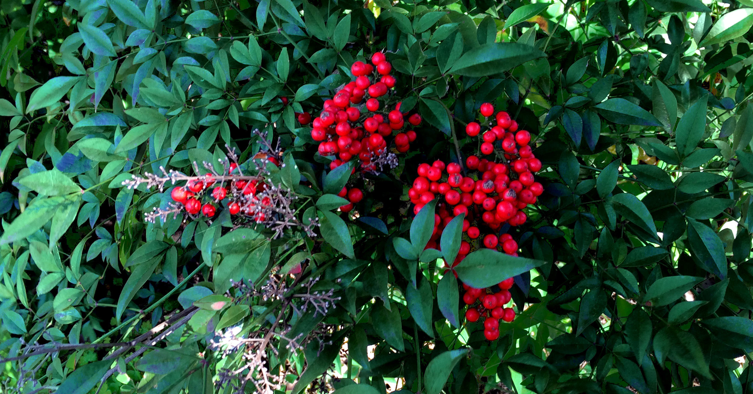 red berries 12.25.14