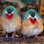 Bleeding heart doves
