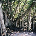 LORD, MAKE ME A BANYAN TREE