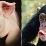 Chimp/Pig Hybrids?  Scientist Claims We've Got Porcine Roots