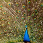 "Flannery's Peacocks: ""King of the Birds"" Run Amok"