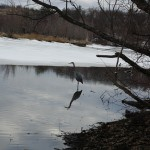 Great Blue Heron on Horn Pond