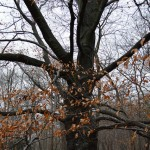 beech tree in winter