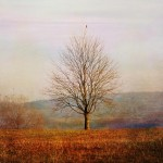 Lone bare tree in a field