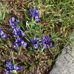 Miniature irises blooming