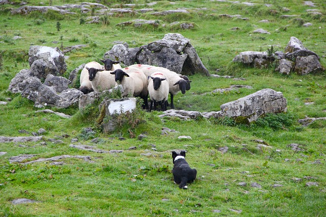 A sheepdog crouches in front of four sheep