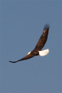 eagle in flight, flickr,