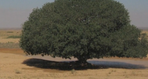 The blessed tree where the Prophet Muhammad (pbuh) stopped on a journey and met the monk Bahia. Image courtesy Ten Thousand Films.