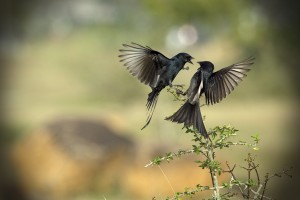 Vinoth Chandar The Drongo Love