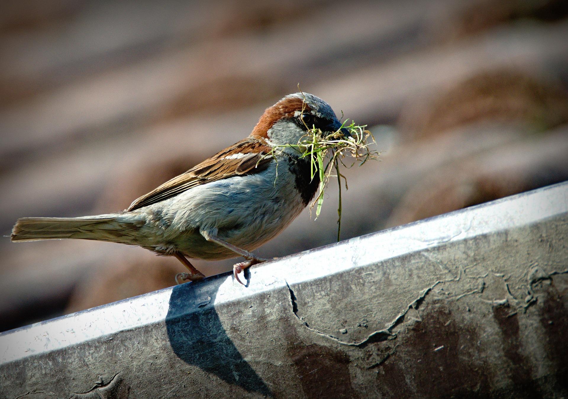 sparrow-827374_1920