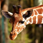 The Creationist Giraffe