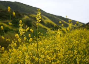 Mustard plants in Southern California. Not quite the same variety as in Judea in the time of Jesus.