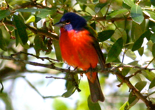 A male painted bunting, front view.